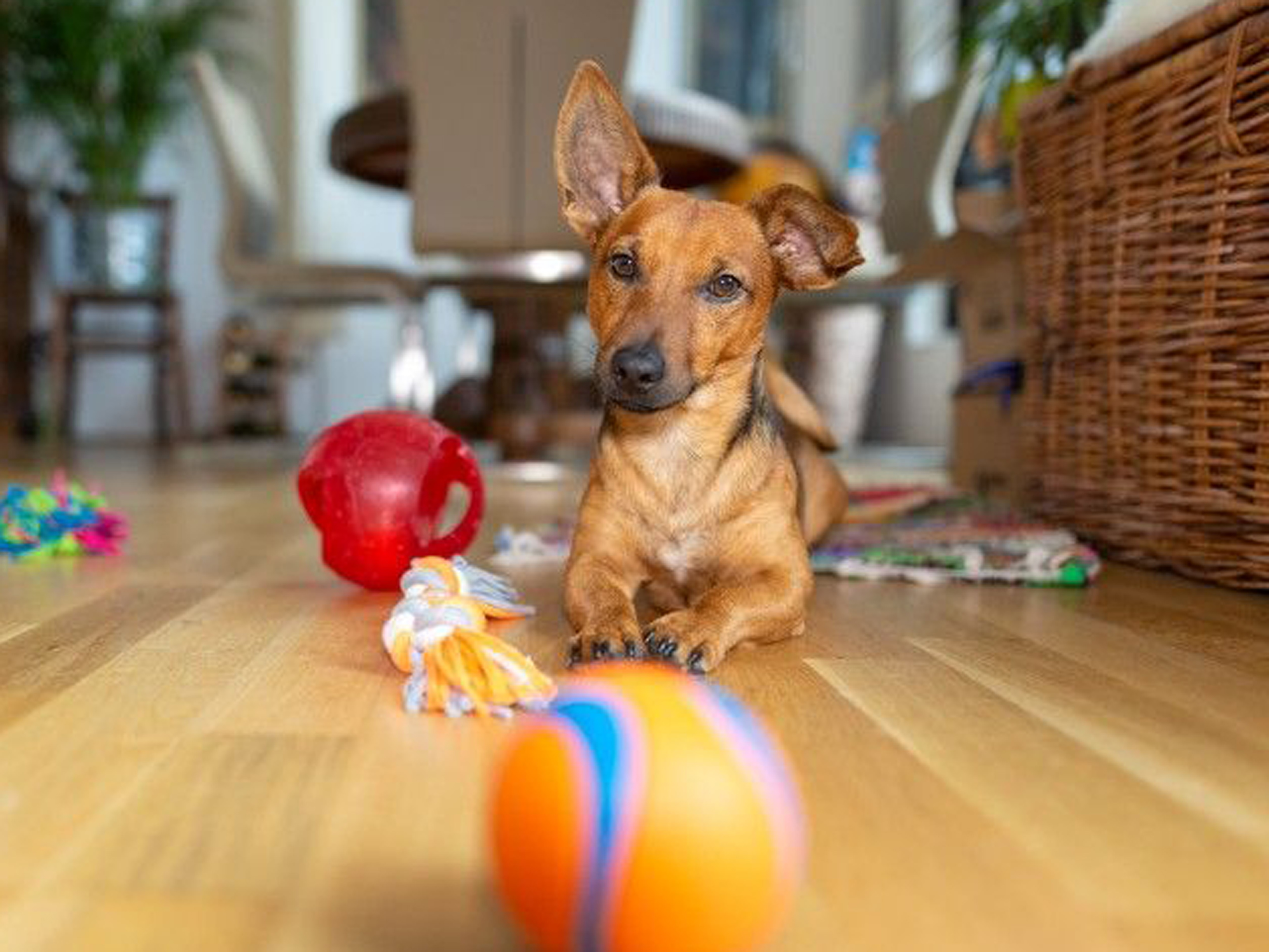 Dog Accessories & Toys