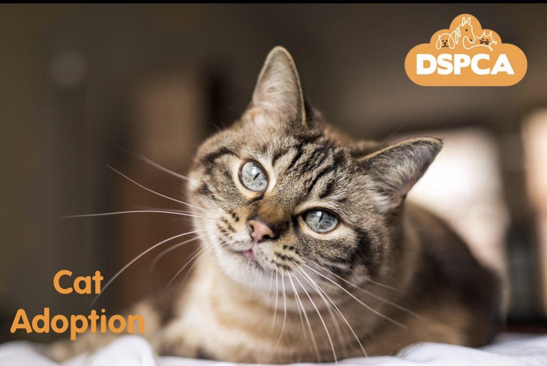 DSPCA Cat Adoption